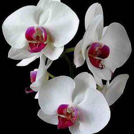 Субстрат для орхідей та фаленопсисів ECOVERM®orchids, 2,5 л